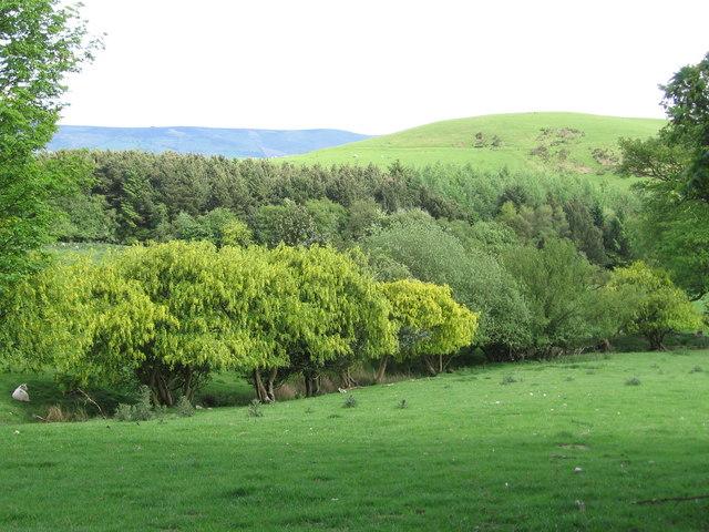 Laburnum trees growing wild