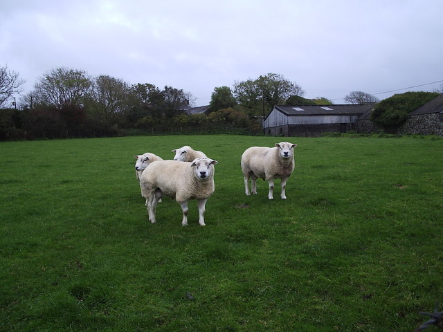Rams at Cilshafe