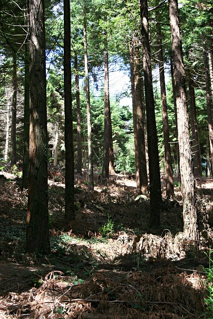 Mature Conifers in Idless Woods