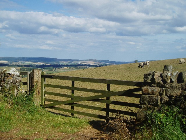 Sheep grazing near Wooler