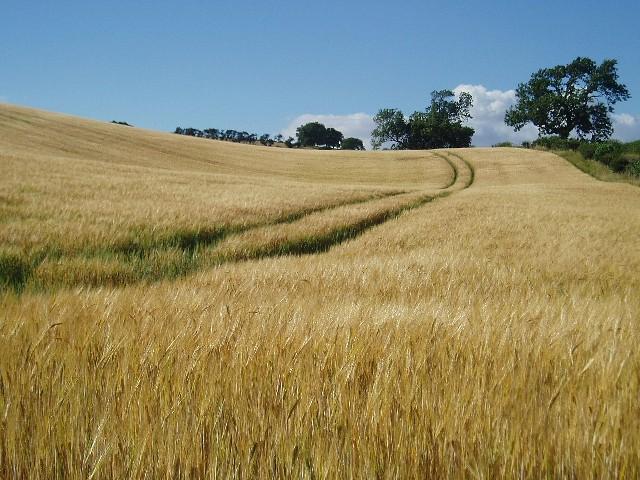 Barleyfield near Wooler