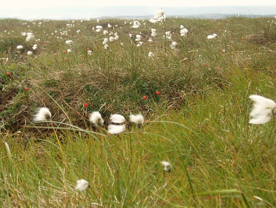Cottongrass and Cloudberries