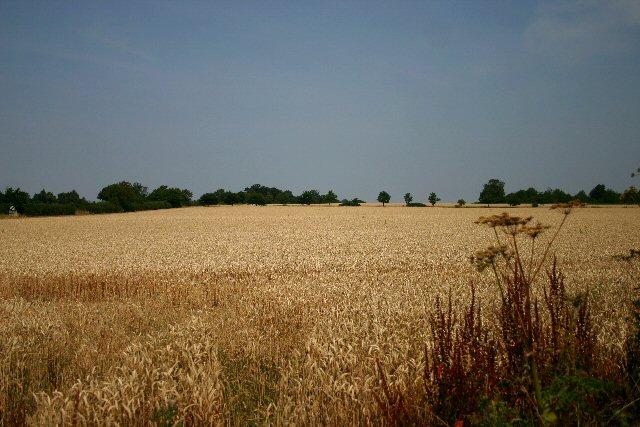 Wheat field at Ixworth Thorpe