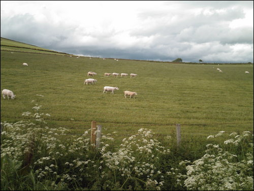 Sheep in a field from Brawlandknowes