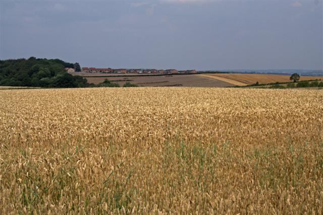 Calow Corn Fields