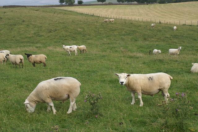 Beltex Sheep near Whygill
