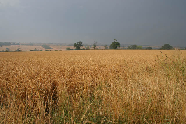 Field of barley near Pilton
