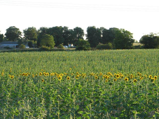 Sunflowers at Hartley Farm