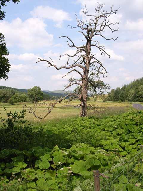 Dead tree and wild rhubarb, Liddesdale