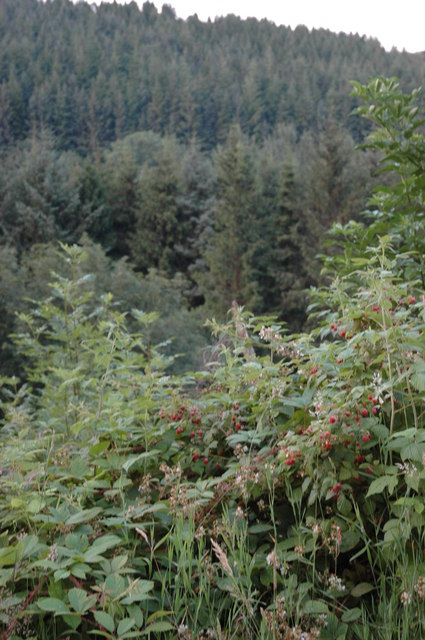 Raspberries growing on the side of Halliday Hill