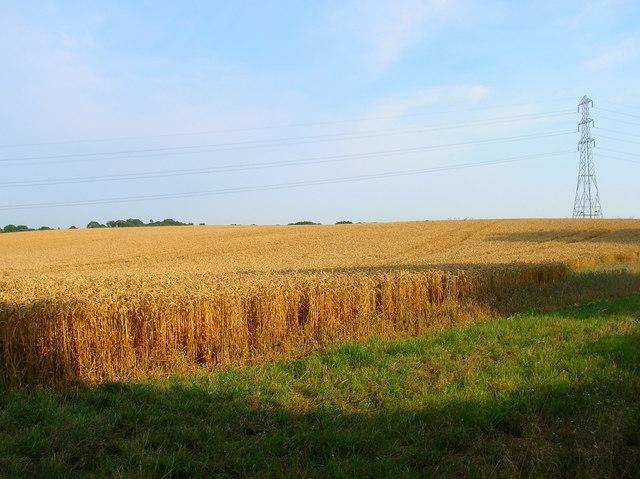 Cornfield, near Gurrs Farm