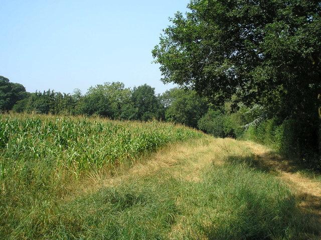 Footpath alongside a field of maize, Surrey