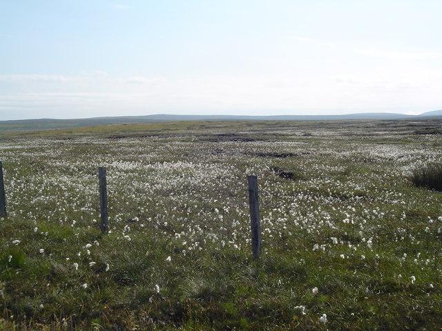 Bog Cotton Moorland