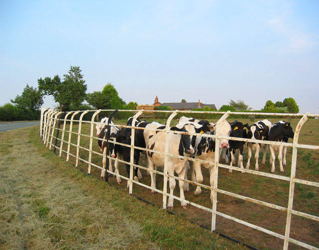Bullocks by railings