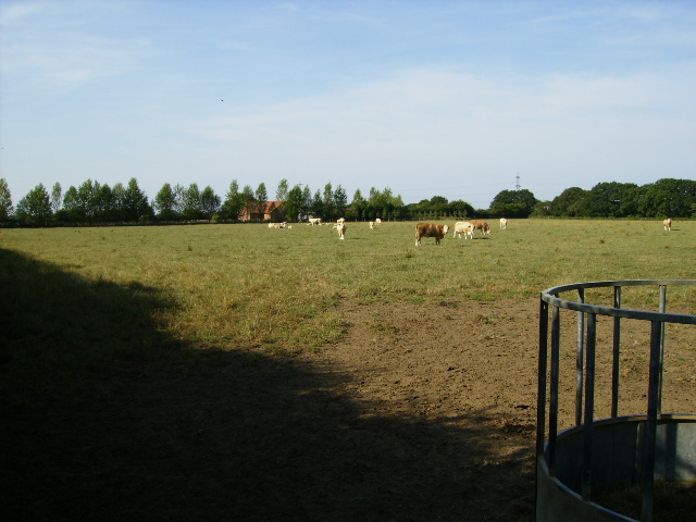 Cattle grazing near Green Acre
