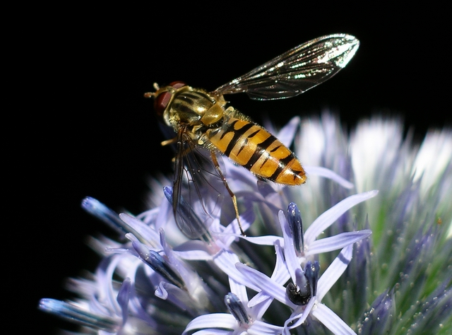 Marmalade Hoverfly (Episyrphus balteatus) on globe thistle