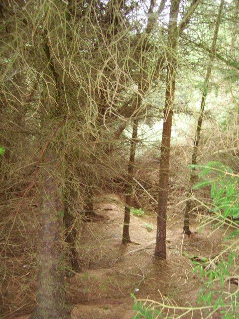 Sitka plantation