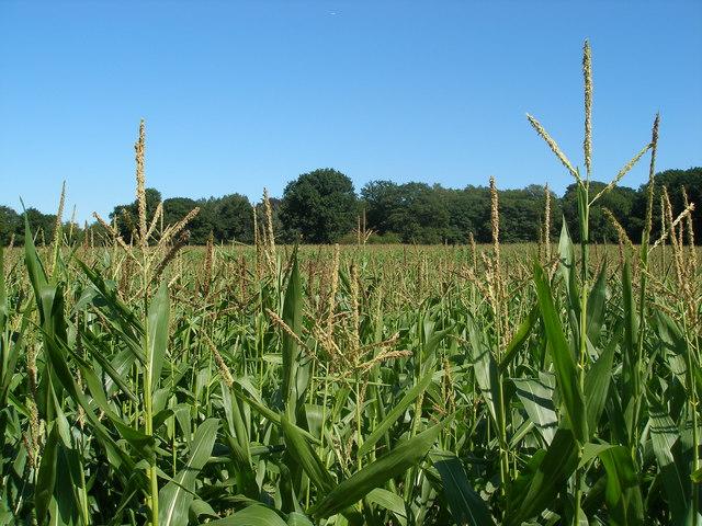Hampton maize