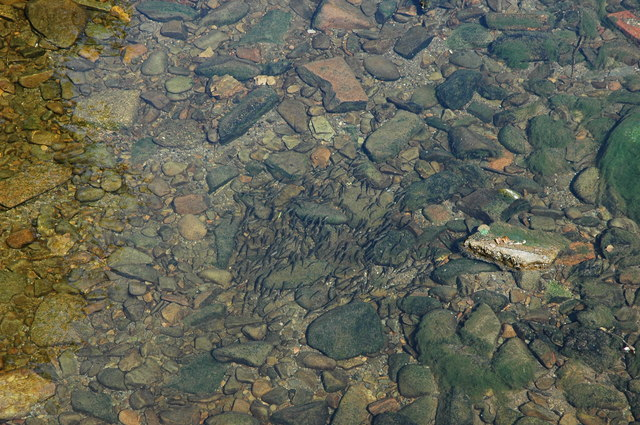 Minnows in Dalwhat water.