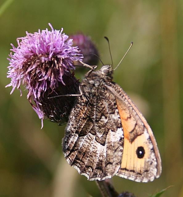 Grayling Butterfly (Hipparche semele)