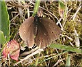 NO6948 : Ringlet Butterfly (Aphantophus hyperantus) by Anne Burgess