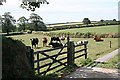 SX1358 : Cattle near Tawell Farm by Tony Atkin