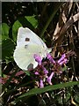 SX2359 : Large White Butterfly by Tony Atkin