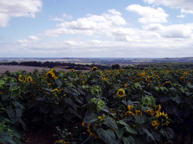 Distant views over field of sunflowers