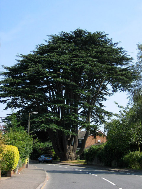 The Aperfield Cedar