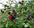 SW9766 : Honeysuckle and Blackberries by Tony Atkin