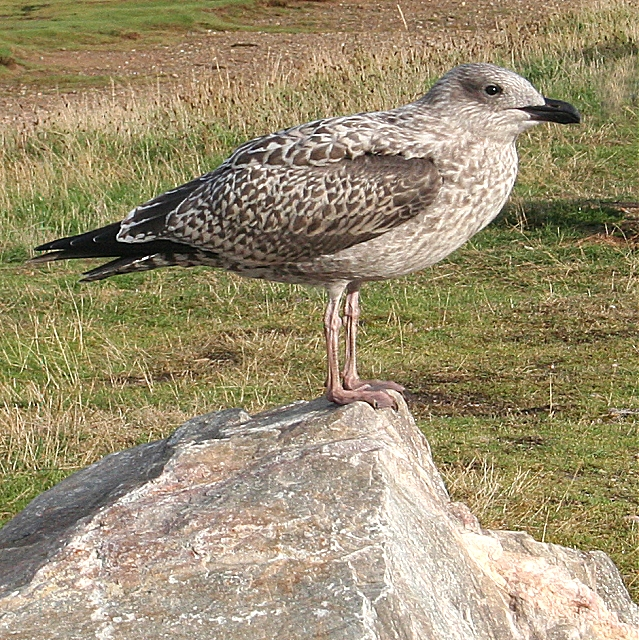Juvenile Yellow-legged Gulls at Draycote Water ...