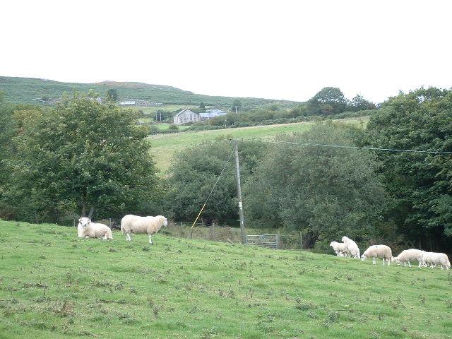 Sheep near Cerniog Bach