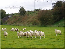 SP7747 : Sheep by the railway by D J Cook