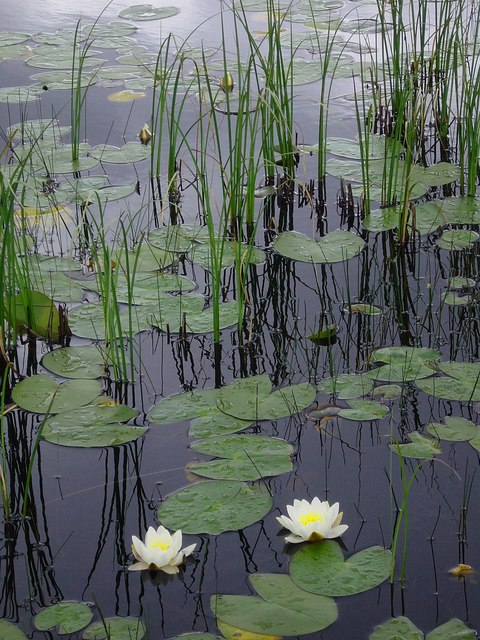 Water lilies and reeds, Lochan Dubh