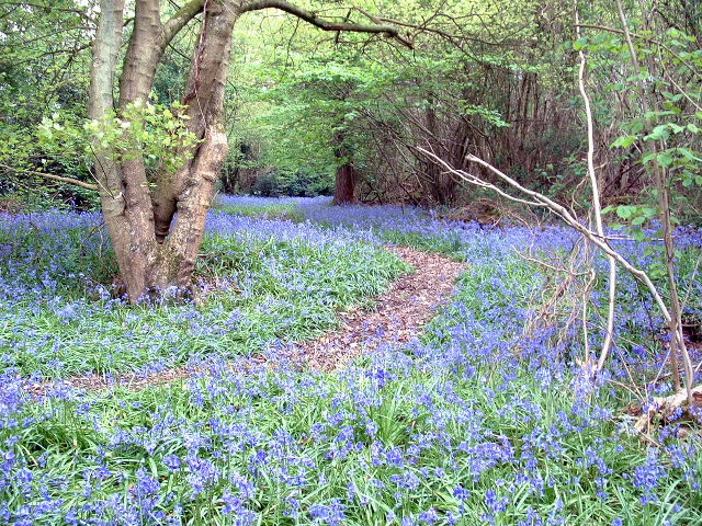 Bluebells near Woodgetters