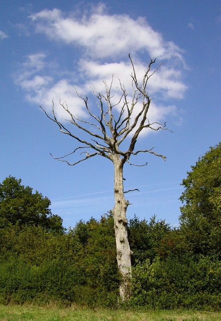 Cloud tree, near Herriard Grange