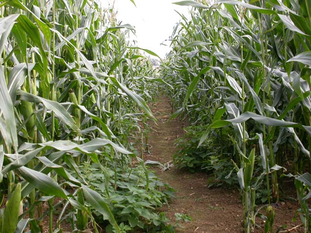 Footpath through Maize