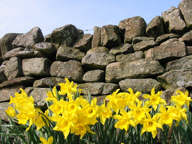 Daffodils at Mollersteads