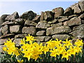 NY9258 : Daffodils at Mollersteads by P Glenwright