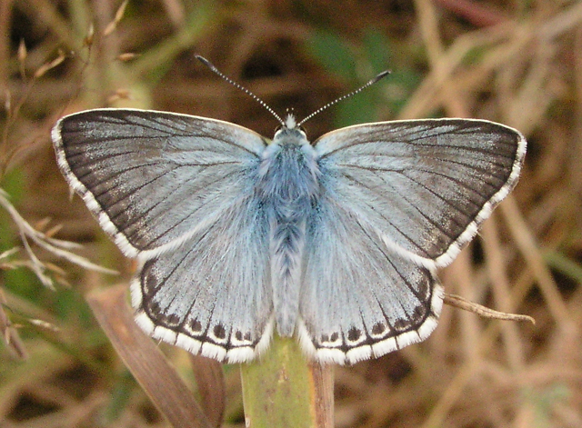 Chalk Hill Blue, Sheffield Park