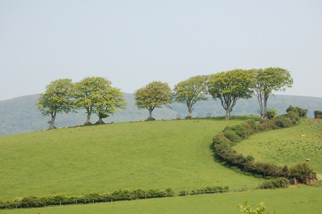 Seven Beech Trees on Copper Hill, Linhay.