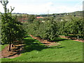 SO4618 : Apple orchards near Colebrook Wood by Philip Halling