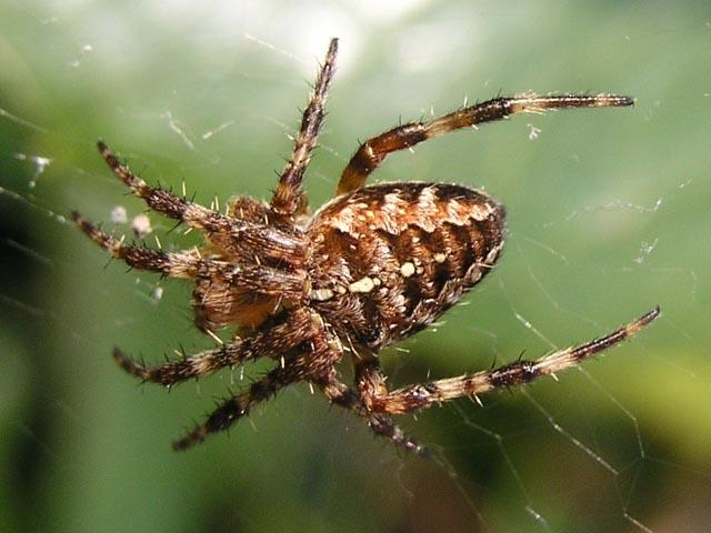 Garden spider seen on hedge