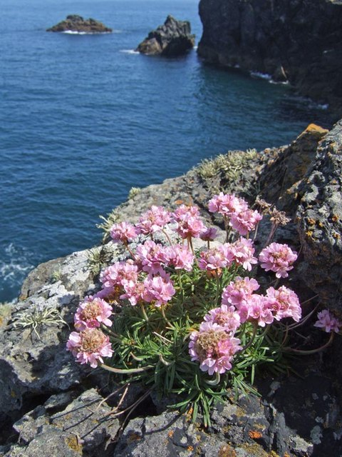 Sea Thrift at St Agnes Head