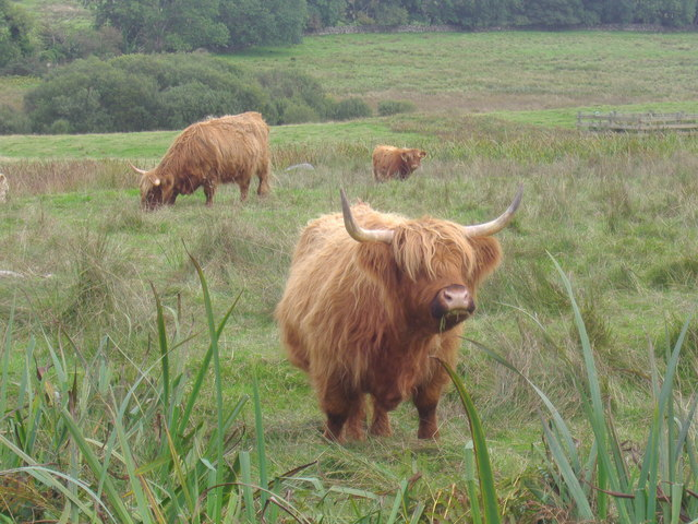 Highland cattle by the Skyreburn road
