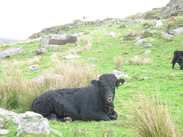 A Placid Young Bull at Ynys Wen