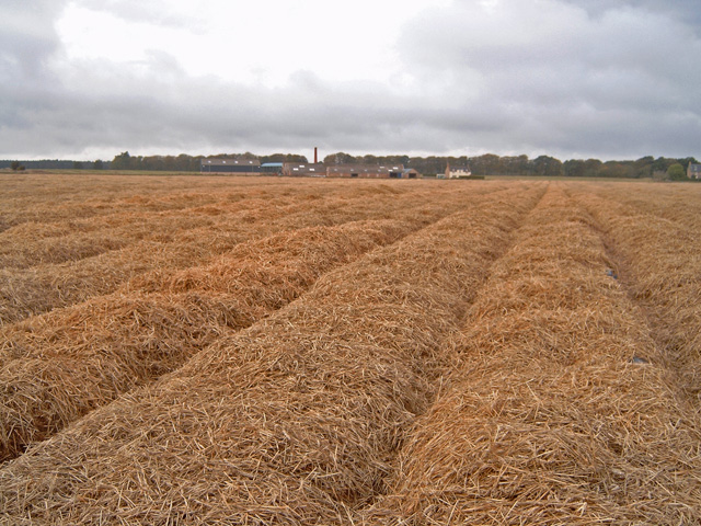 Carrot crop protected with straw