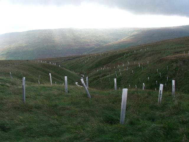 New Plantation in Strans Gill.