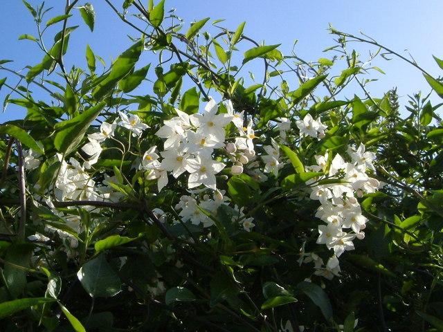 Solanum jasminoides in Topsham
