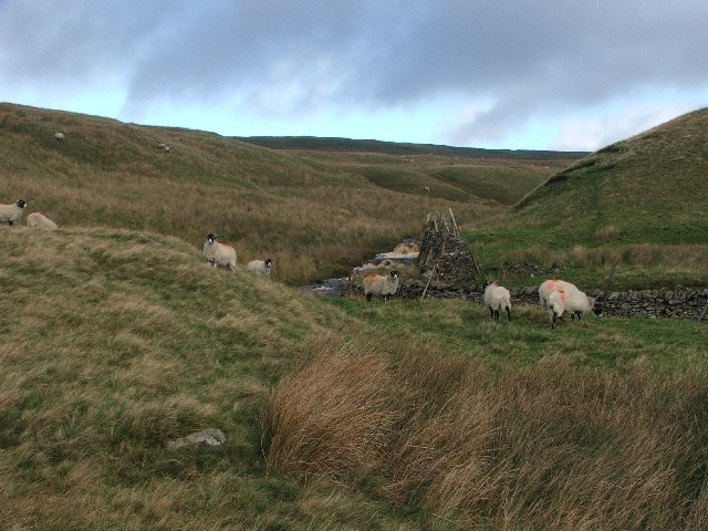 Sheep in Crook Gill.